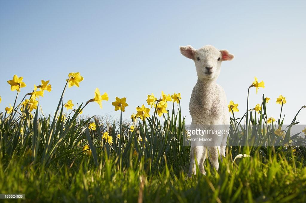 Spring Lamb
